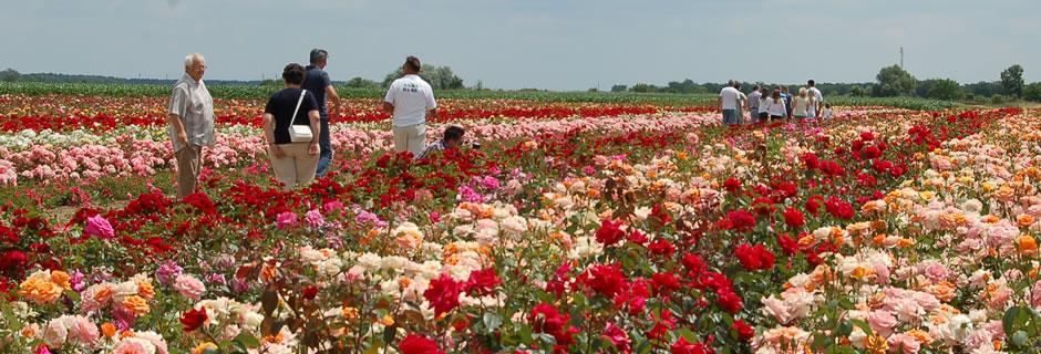 Szőregi Rózsaünnep - Rózsaföld látogatás